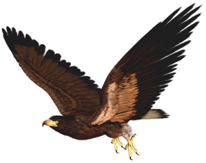 Hawk_PNG_Clipart_Picture
