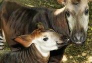 okapi-female-foal